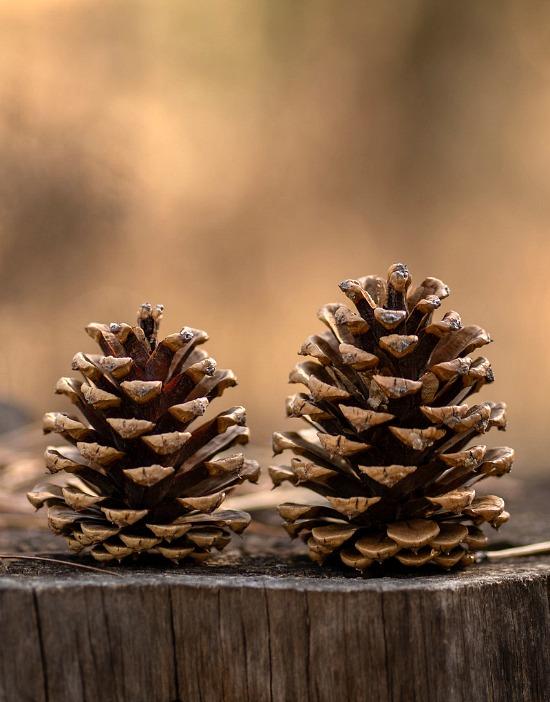 pine-cones-on-wood-stump