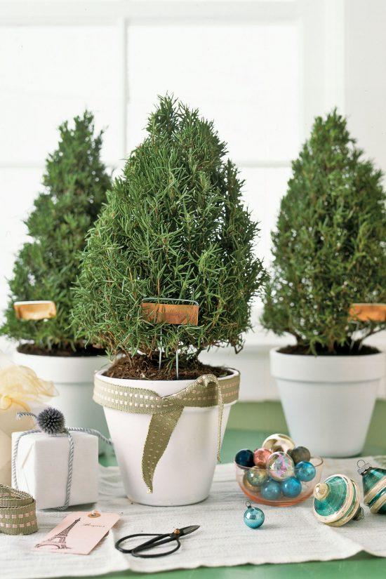 rosemary-trees