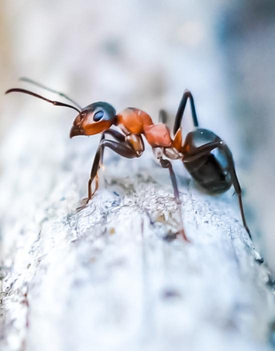 ants-picnic