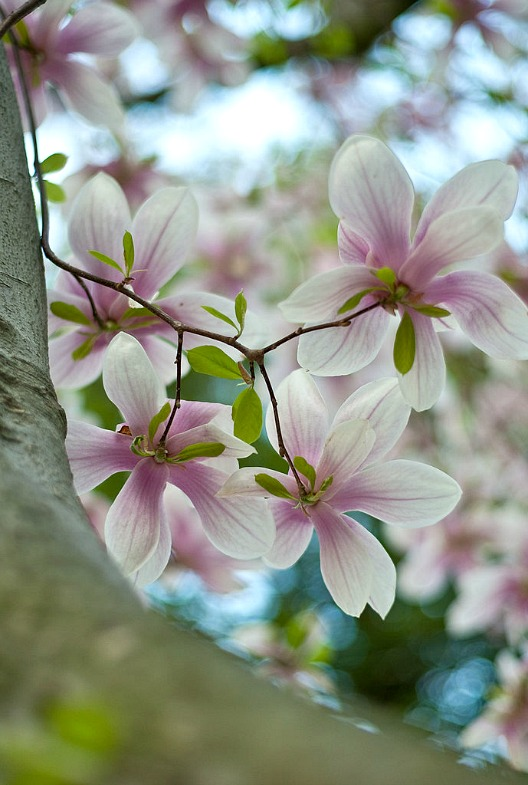 Magnolia_Tree_and_Flower