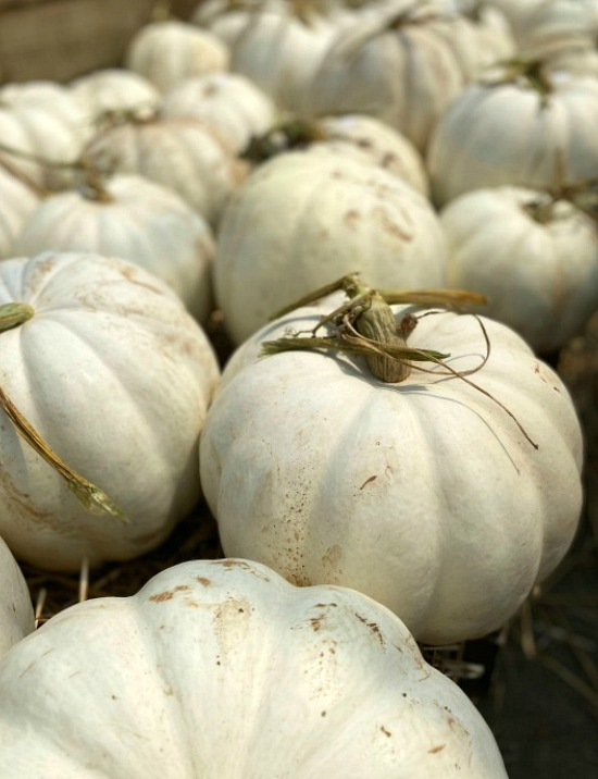 white-fall-pumpkins