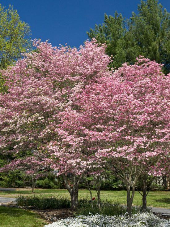 HGTV_pink-dogwood-trees-flowers