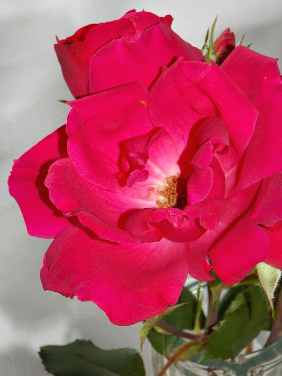 garden-rose-in-vase