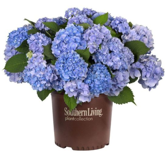 southern-living-plant-collection-shrubs