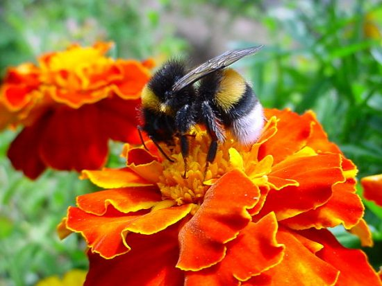 640px-A_bumble-bee_on_a_flower