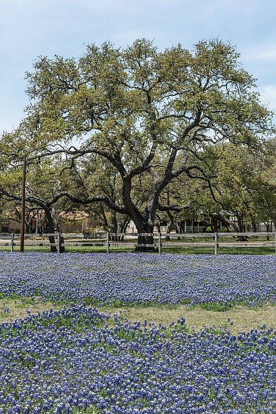 Texas-bluebonnets-in-field