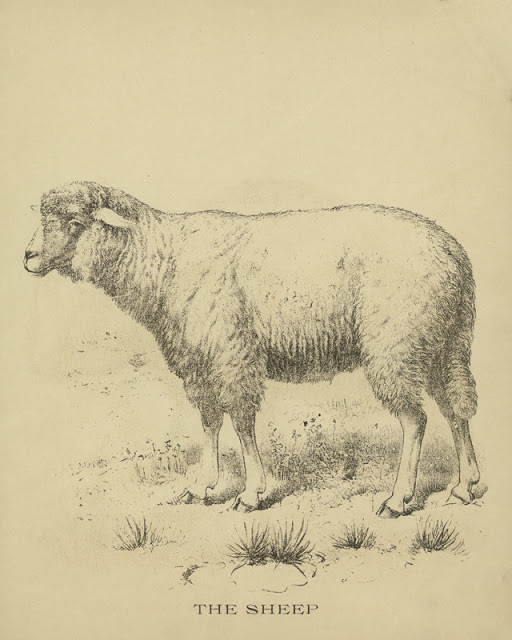 Vintage-sheep-Drawing-w