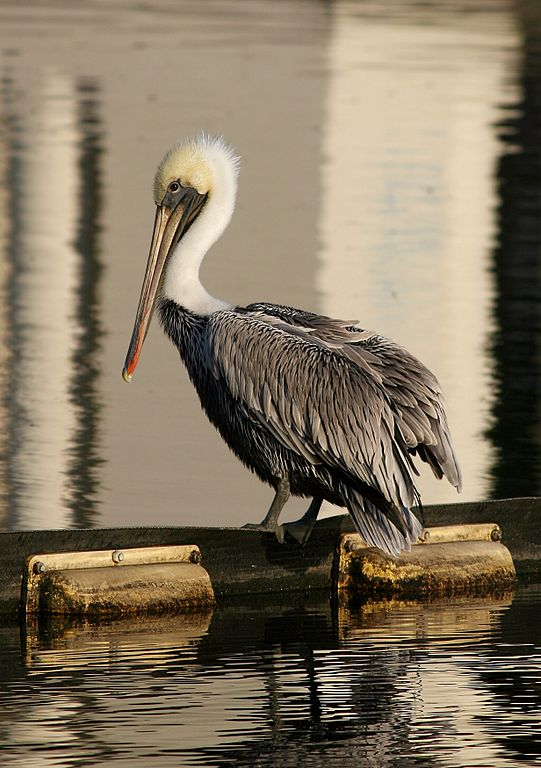 Brown_Pelican3