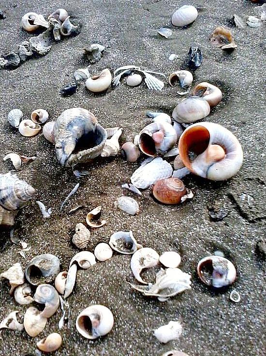 Louisiana-shells-on-coast