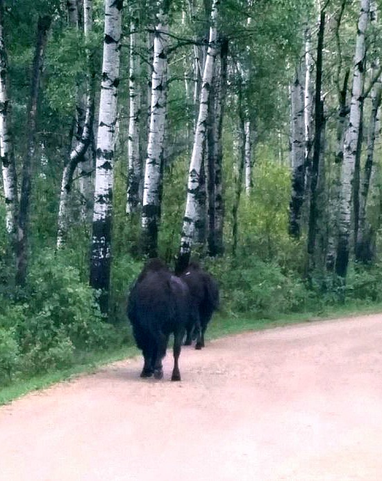 bison-Canada