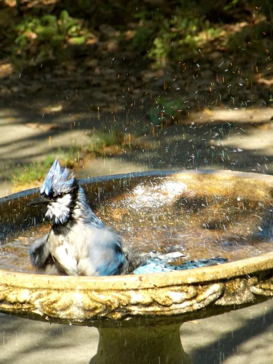 blue-jay-bathing