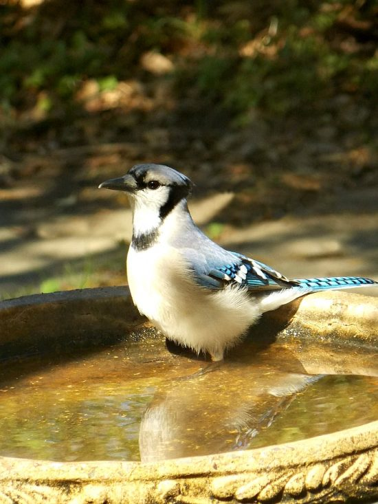 blue-jay-bird-bath