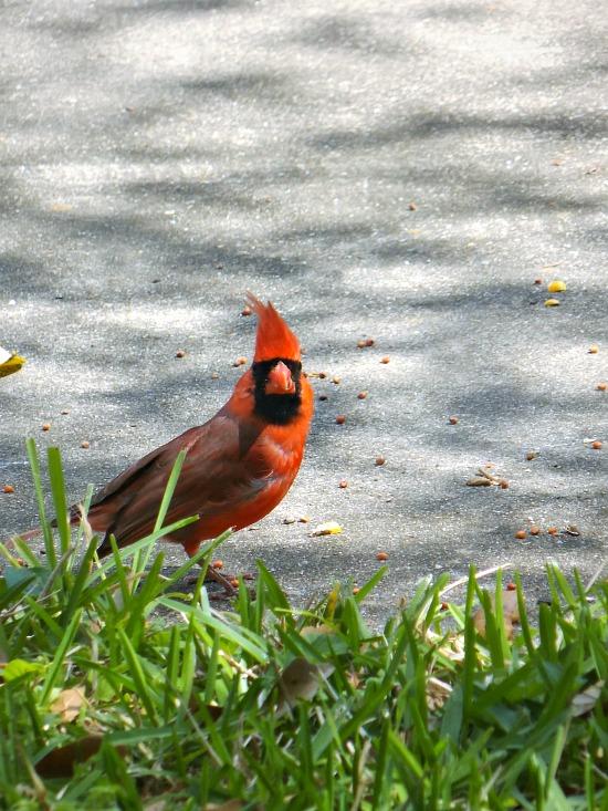 red -bird-spring