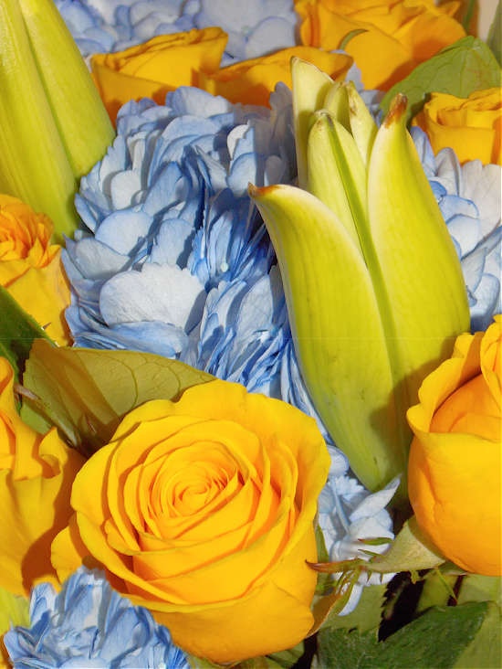 fresh-yellow-roses-blue-hydrangeas
