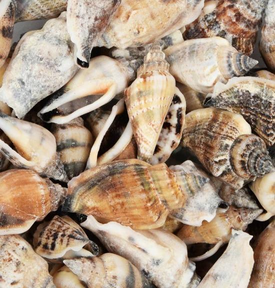 brown-shells