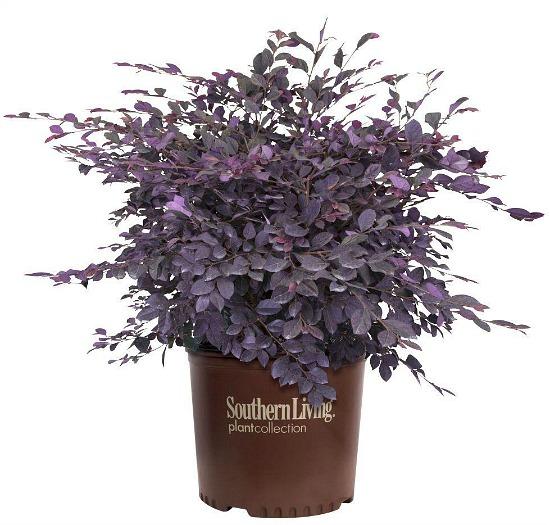Loropetalum-Purple-Diamond