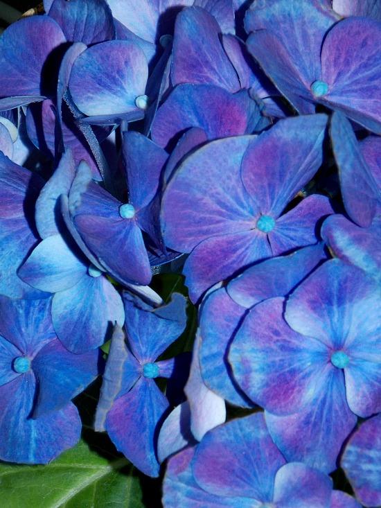 blue-purple-hydrangea