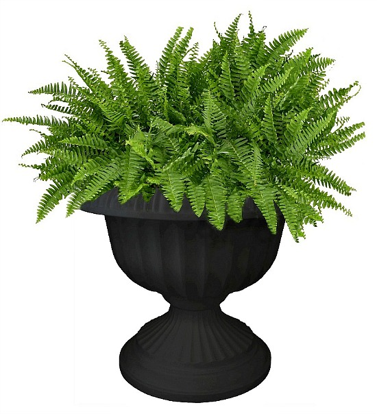 Boston-fern-in-urn