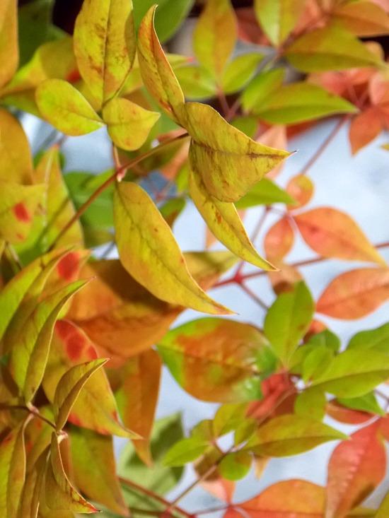 fall-nandina