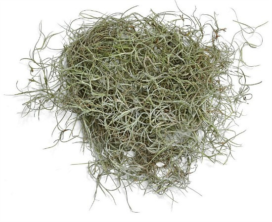 Spanish-moss-decorative