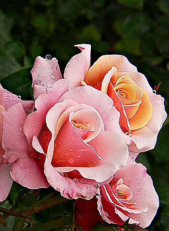 pink-yellow-roses