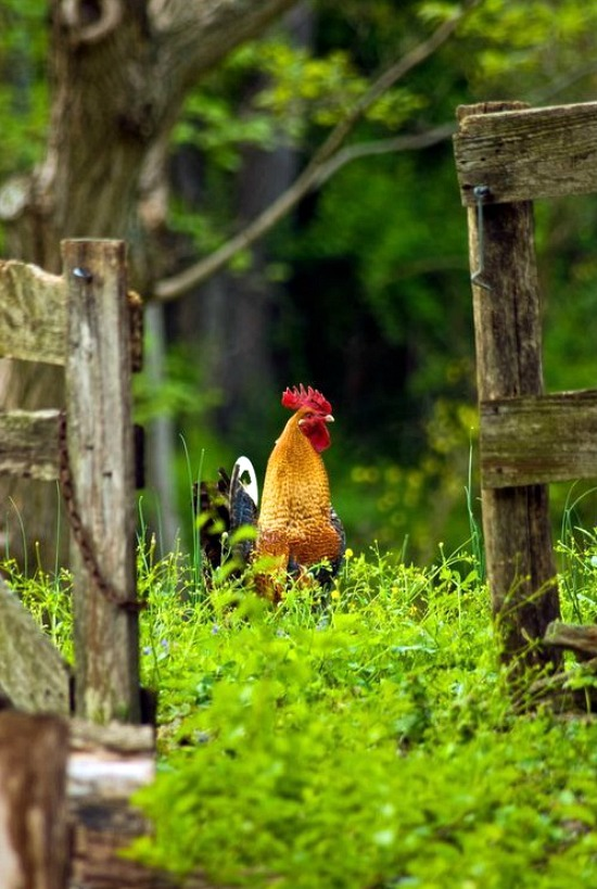 rooster-spring