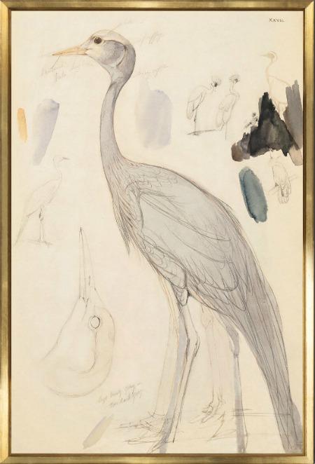 lear-demoiselle-crane