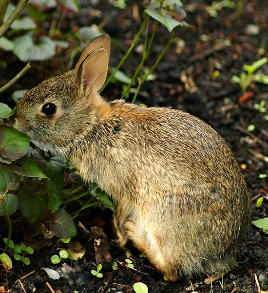 rabbit-in-garden