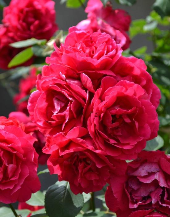 knockout rose bush