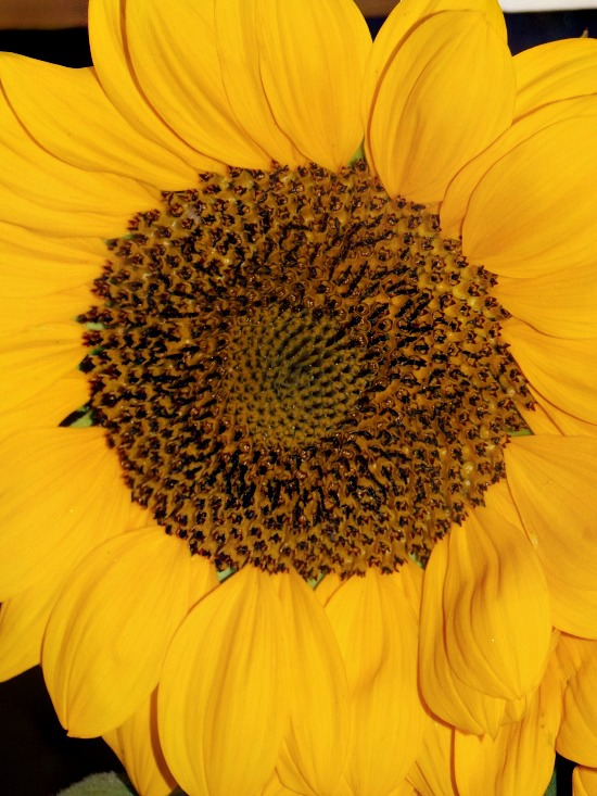 fresh sunflower 1
