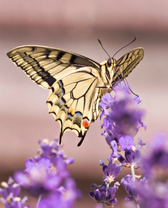 butterfly-on-purple-flowers