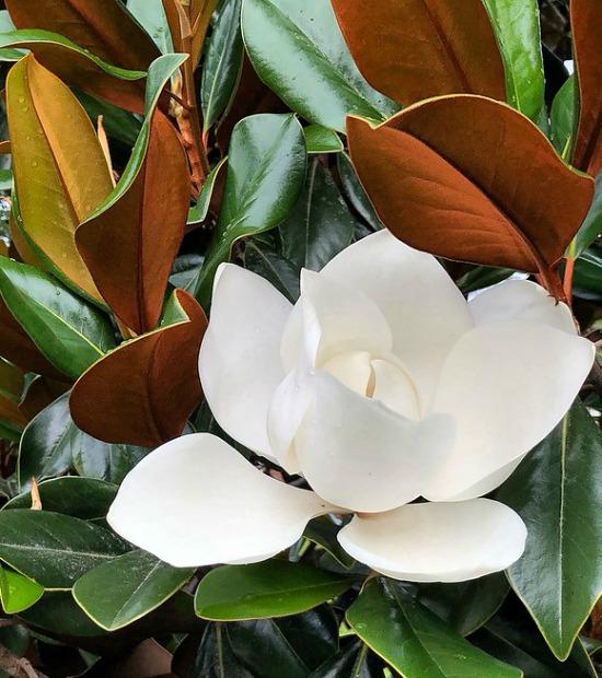 Magnolia tree flower and leaves
