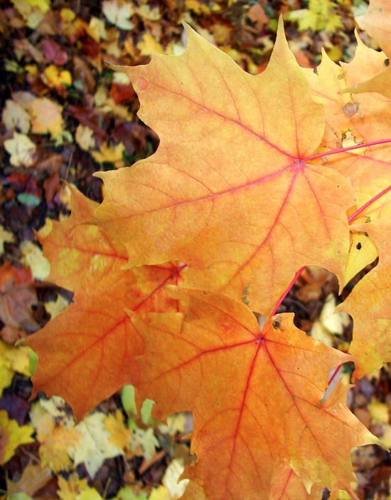 fall-maple-leaves