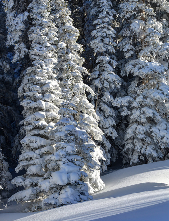 snow covered fur trees