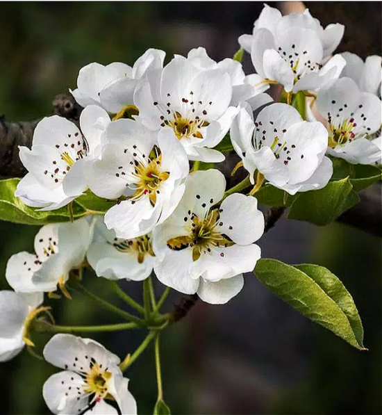 Cleveland Select Flowering Pear Tree Bare Root