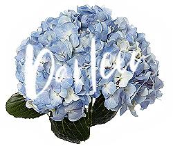 Darleen hydrangea in blue (1)