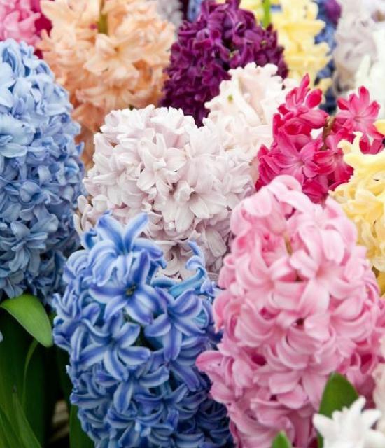 English-cottage-garden-hyacinths