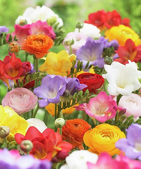 Grand Freesia & Ranunculus Bulb - Set of 25