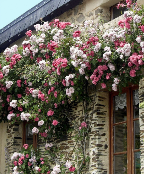 Pinkie-New-Dawn-Climbing-Roses