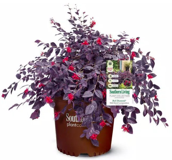 Red Diamond Loropetalum Shrub with Burgundy Foliage and Bright Red Blooms