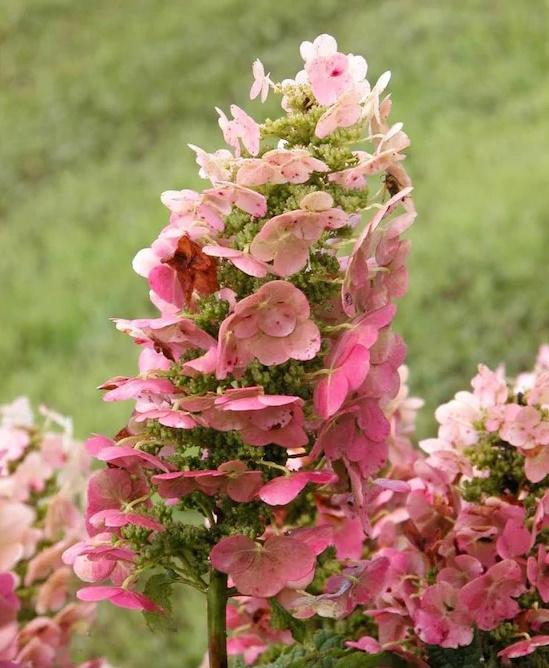 Ruby Slippers Oakleaf Hydrangea White Flowering Shrub Bare Root