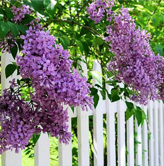 Sunday Lilac (Syringa) Live Deciduous Plant Purple Flowering Shrub