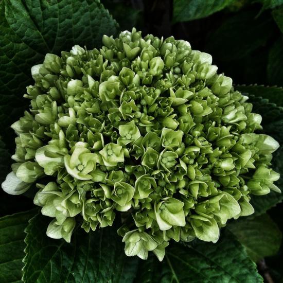 dark-green-hydrangea
