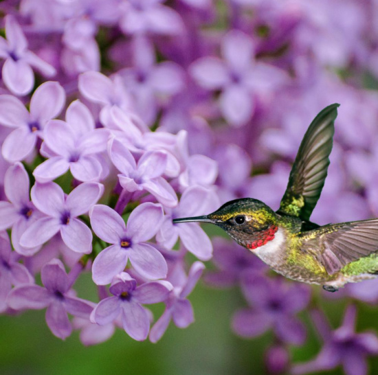 hummingbird-feeding-from-Lilac
