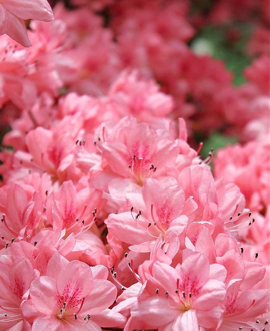 in full bloom azaleas