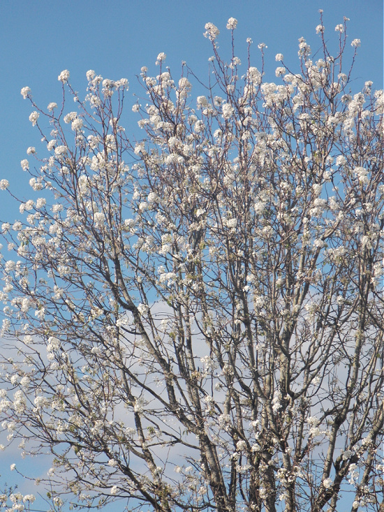 pear-tree-in-bloom