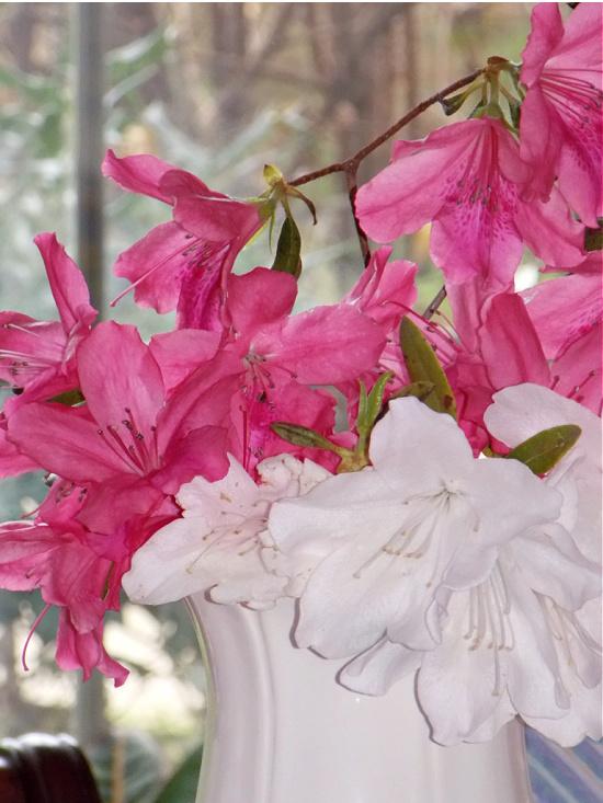 pink-white-azaleas-in-vase