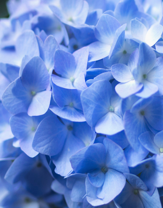 summer-blue-hydrangeas